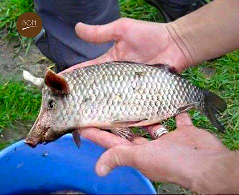 New tilapia breed looks like a pig pigfish ron blog for What type of fish is tilapia