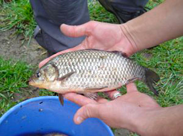 New tilapia breed looks like a pig pigfish ron blog for Is tilapia a fake fish